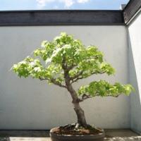 North American Pavilion Bonsai Part 1