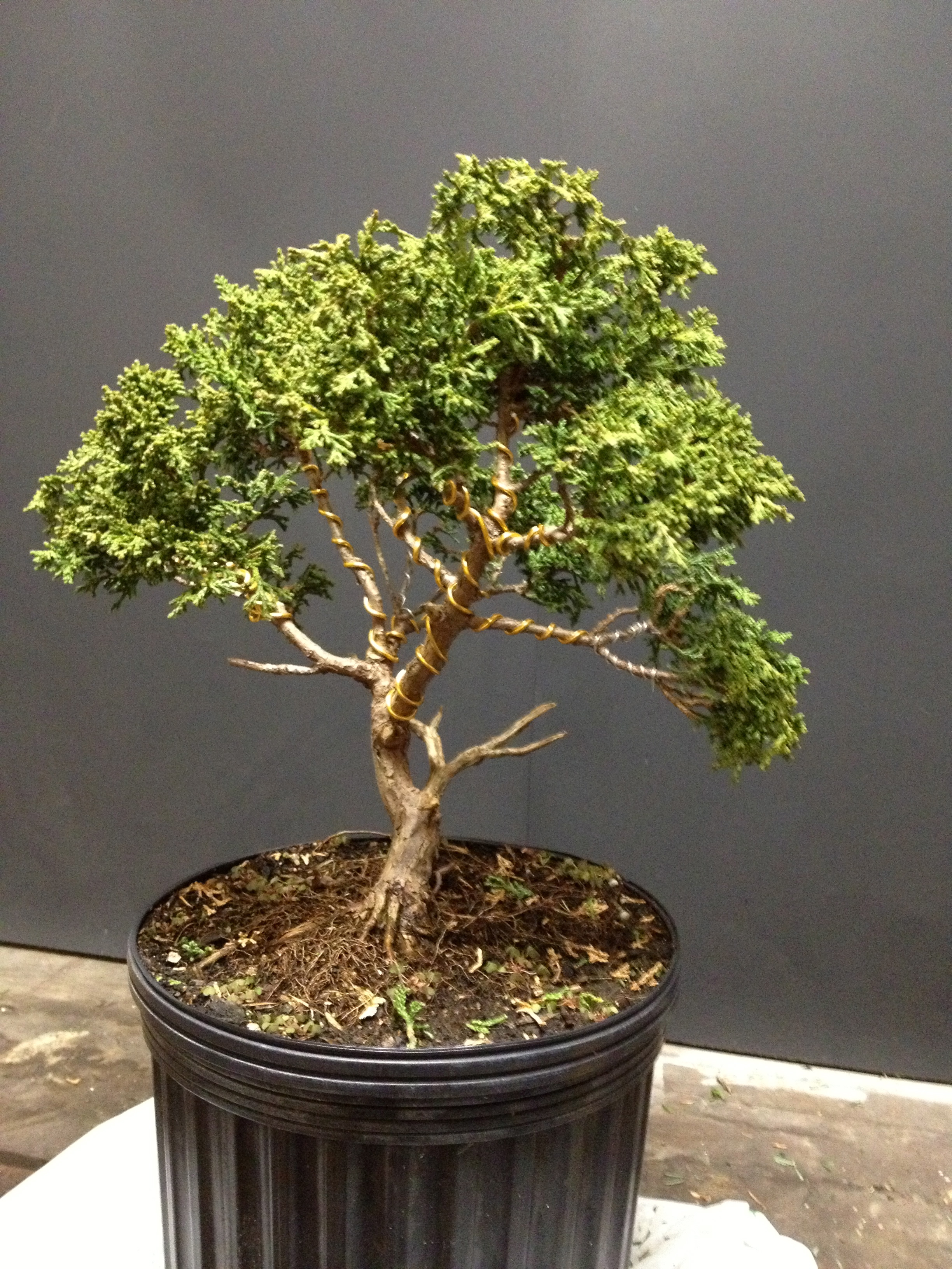 dwarf hinoki cypress eschmidt pa bonsai rh eschmidtpabonsai wordpress com Bonsai Apple Tree Oldest Bonsai in the World