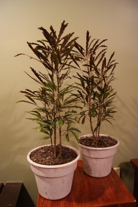 Aralia Elegantissima Forest Planting (False Aralia)