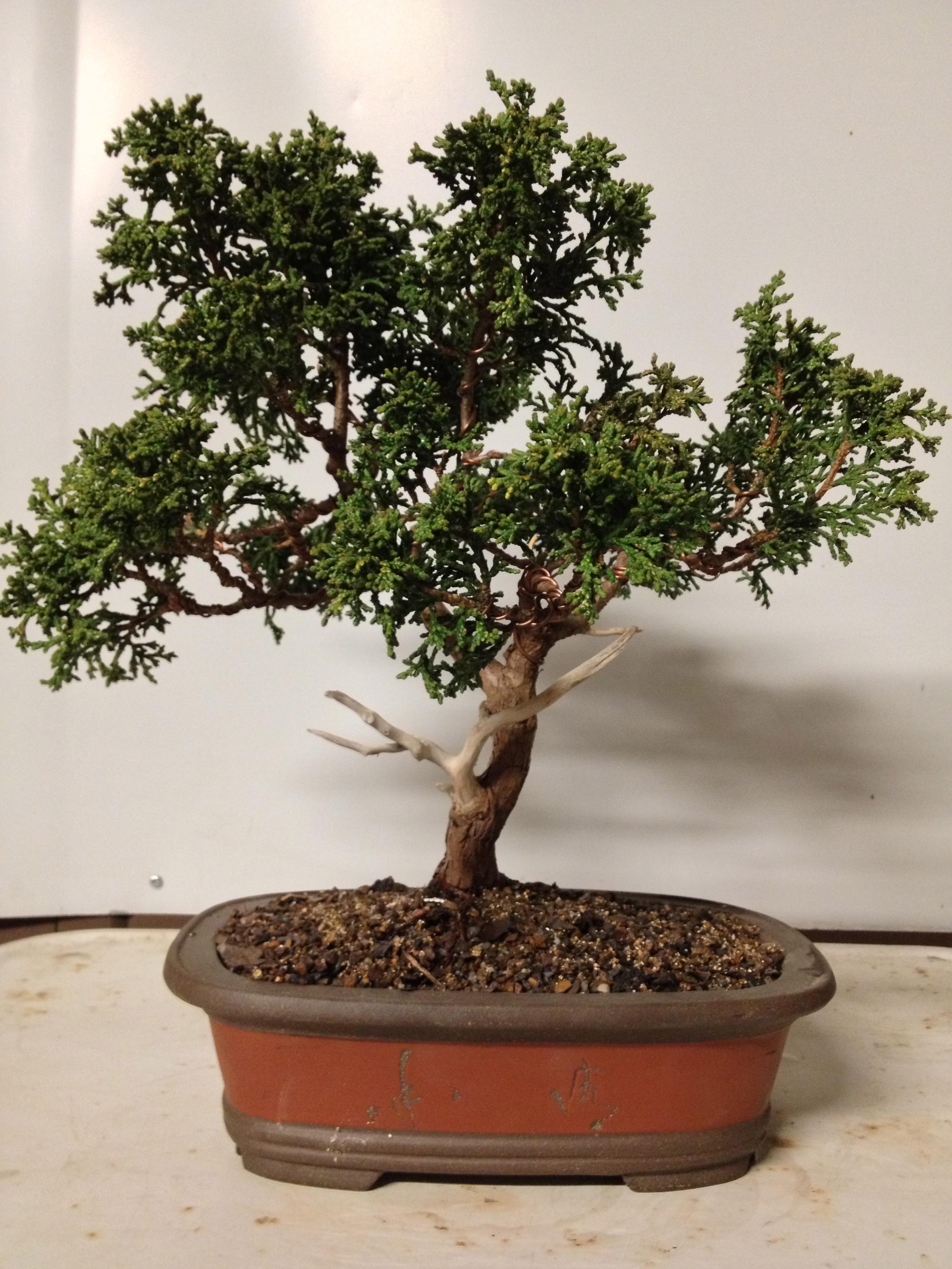 wiring a bonsai bonsai blue   elsavadorla Oldest Bonsai in the World Oldest Bonsai in the World