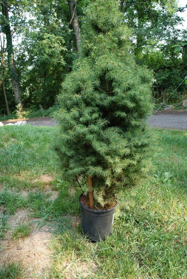 """Alberta Spruce (picea glauca """"Conica"""")"""