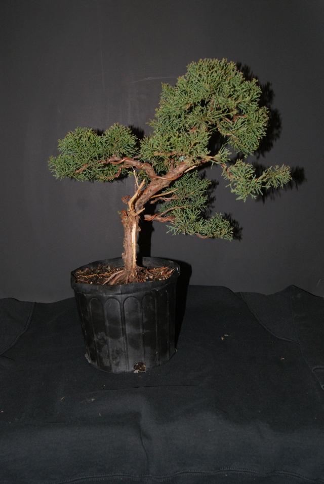 Shimpaku Juniper (sargent juniper)