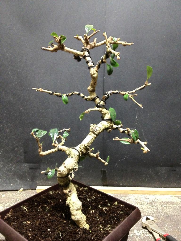 Fukien Tea 1 Carmona Microphylla Eschmidt Pa Bonsai