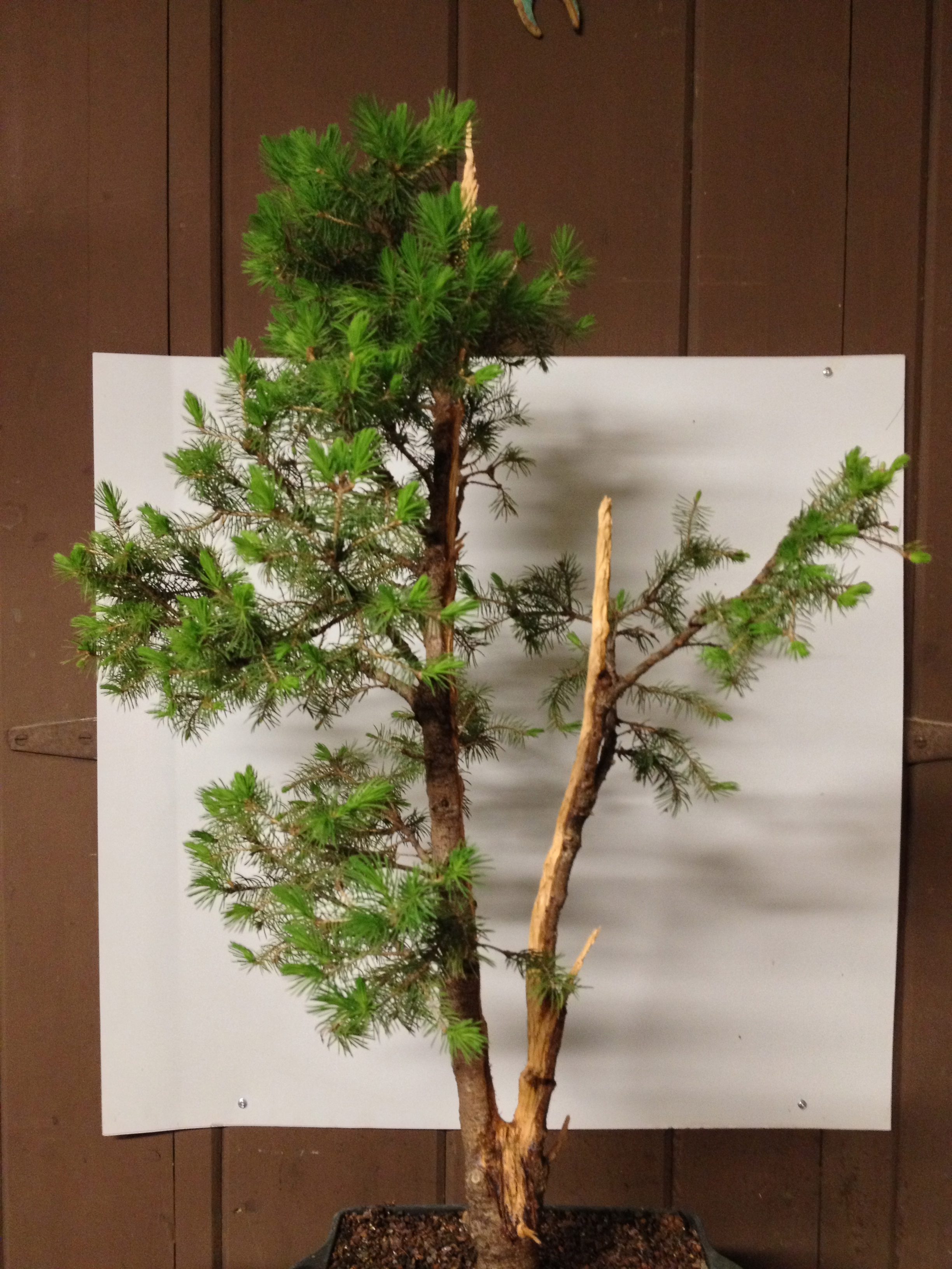Wiring Bonsai To Pot Free Diagram For You Trunk Without Wires Elsavadorla Branches Wire Sets