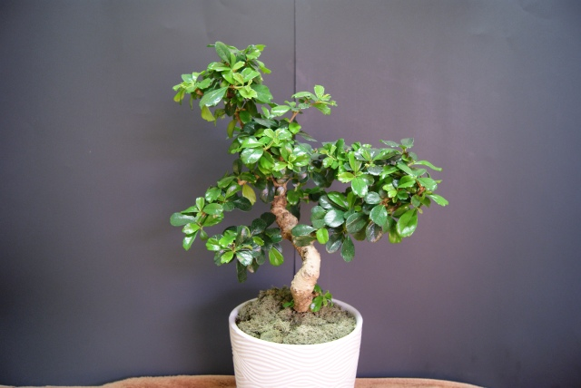 Fukien Tea Bonsai #2