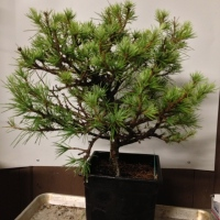 New material I've acquired for bonsai